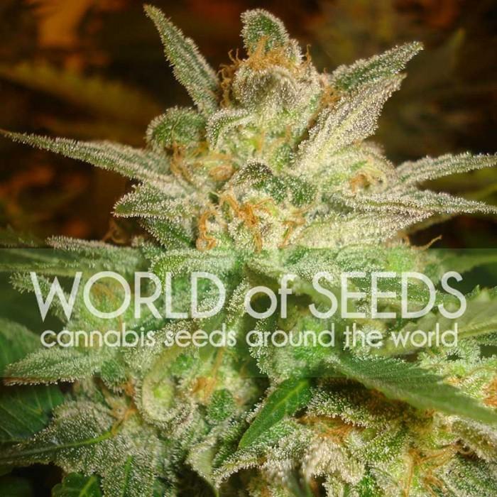Star 47 (World of Seeds) Feminizada