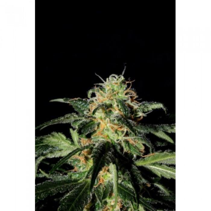 UK Cheese (Shaman Genetics) Semilla Feminizada Cannabis
