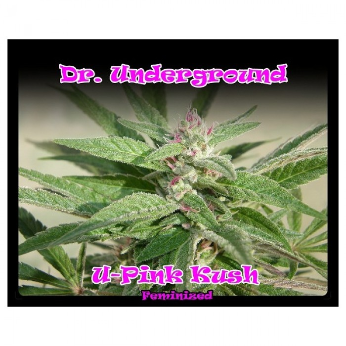 U-Pink Kush Feminizada (DR. Underground)