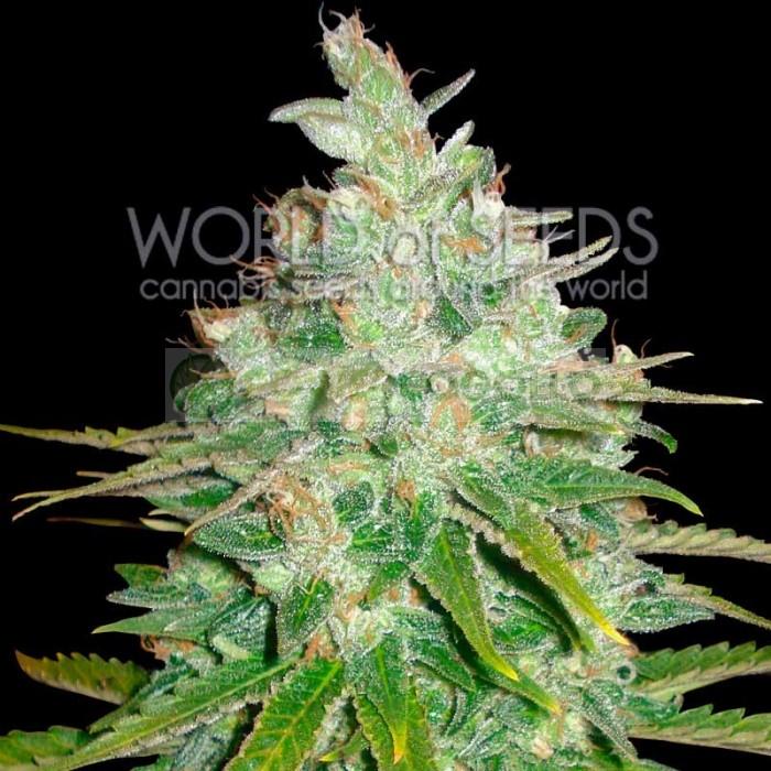 Afghan Kush x Black Dominan Feminizada World of Seeds