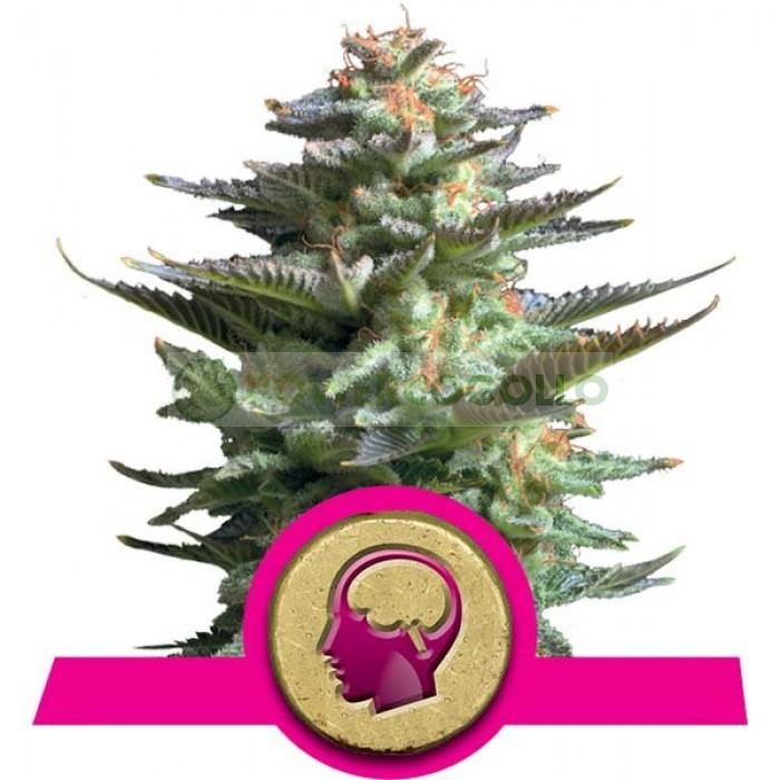 Amnesia Haze (Royal Queen) SEmilla Feminizada Cannabis aroma incienso.