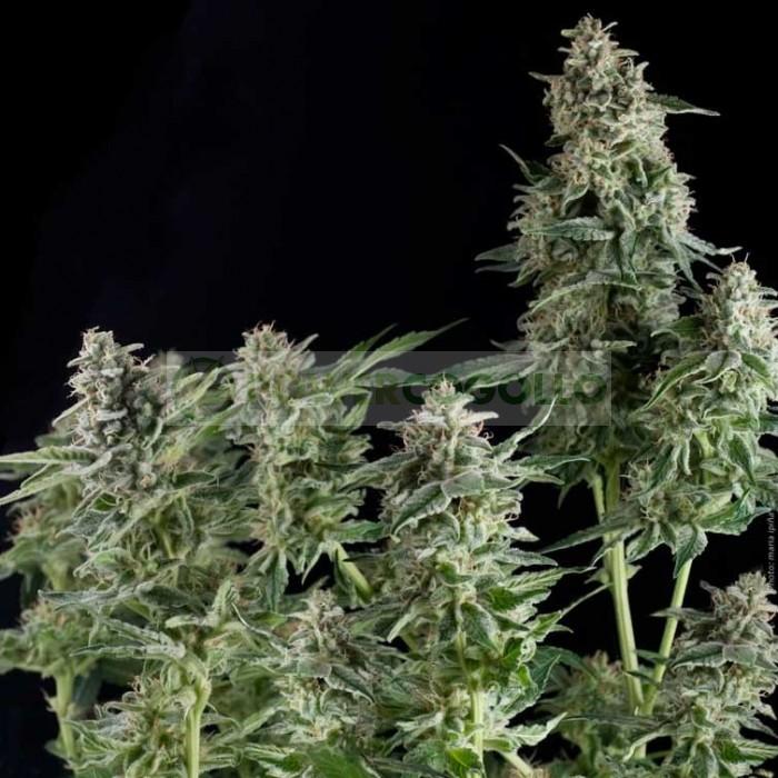 Auto Nefertiti (Pyramid Seeds) Semilla Feminizada Marihuana Automática planta enana.