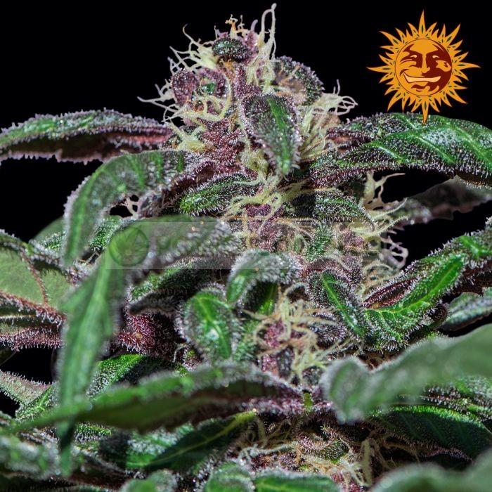 Ayahuasca Purple (Barney´s Farm) Semilla
