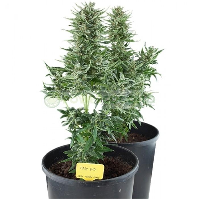 Easy Bud Autofloreciente (Royal Queen Seeds), Semilla