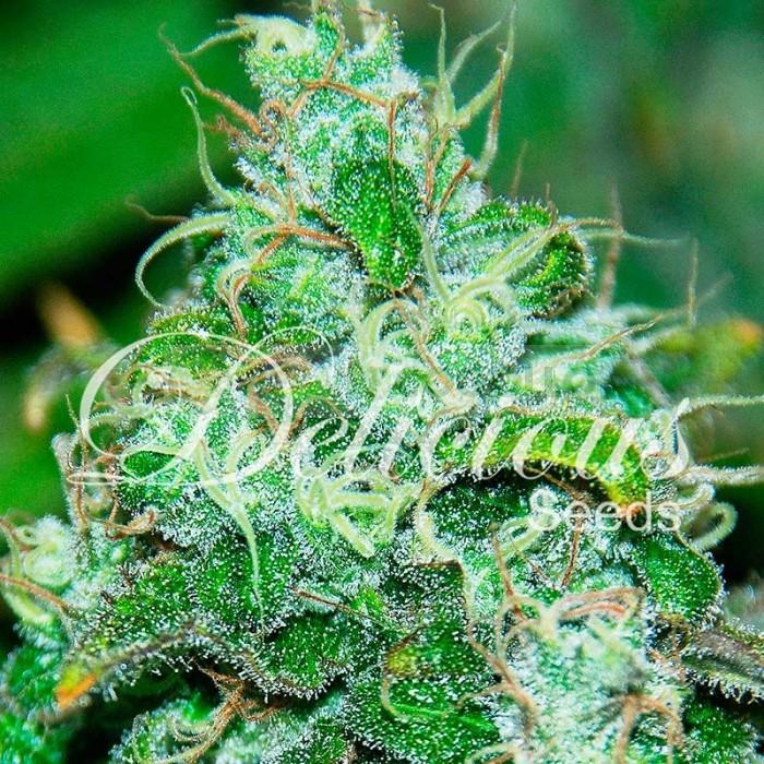 Fruity Chronic Juice (Delicious Seeds) Semilla de Cannabis Feminizada