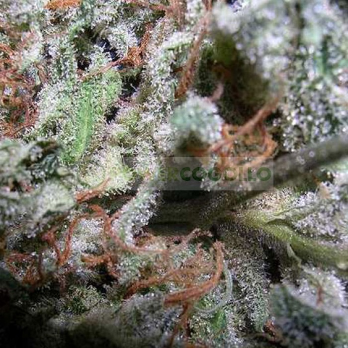 Indica Champions Pack (Paradise Seeds)