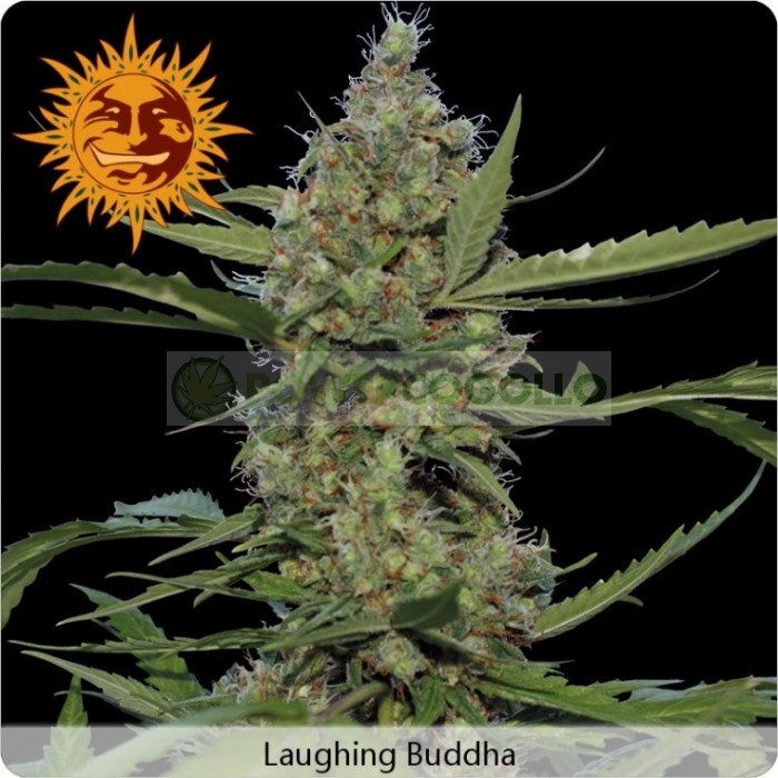 Laughing Buddha (Barney´s Farm Seeds)