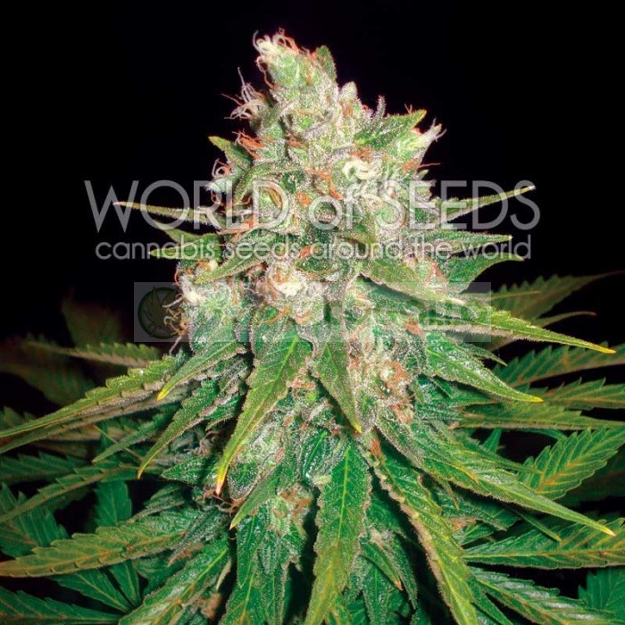 MAZAR X GREAT WHITE SHARK (WORLD OF SEEDS) MEDICAL COLLECTION