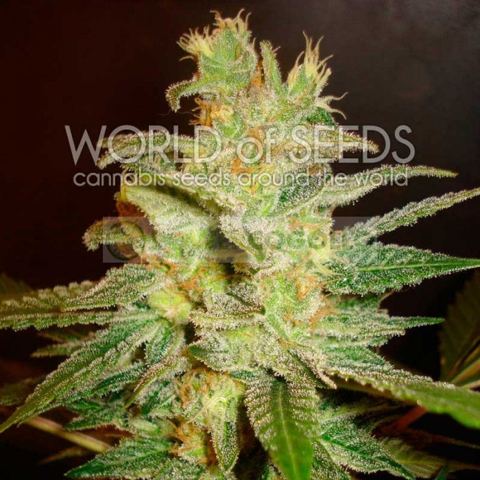 Northern Light x Big Bud (World of Seeds) Feminizada