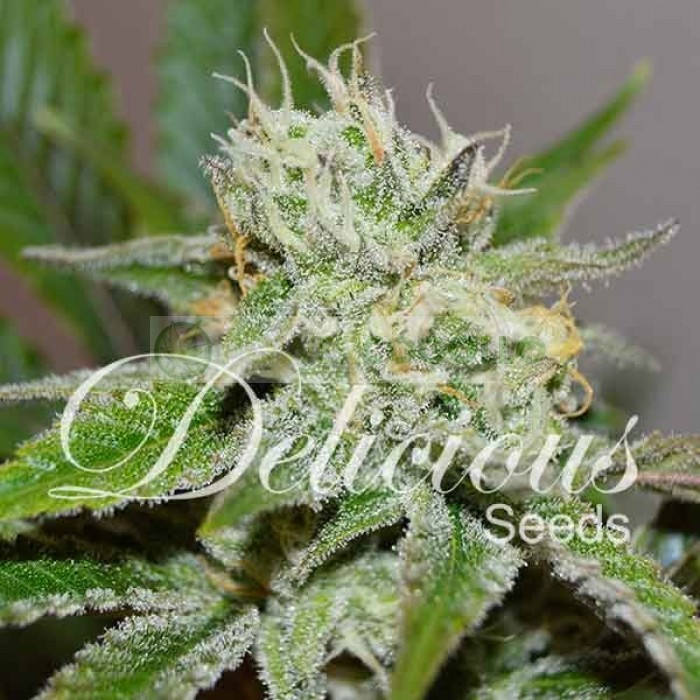 Original Juan Herer (Delicious Seeds)