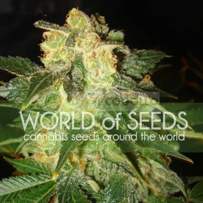Pakistan Ryder Auto (World of Seeds)