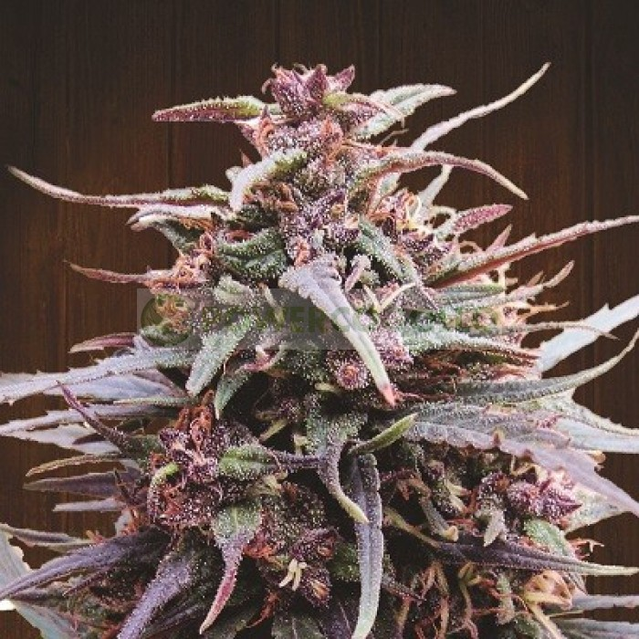 Purple Haze x Malawi Feminizada (ACE Seeds)
