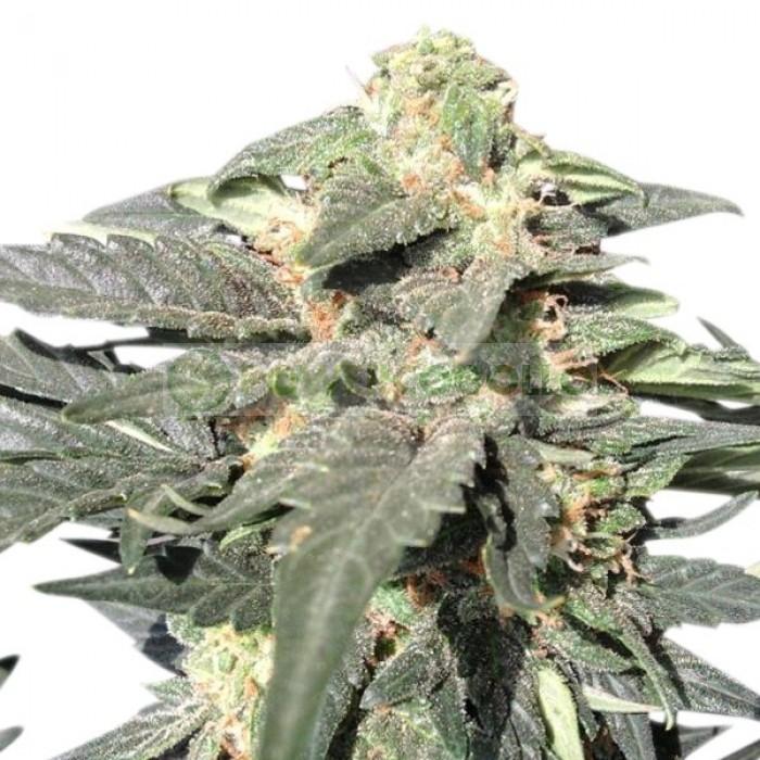 Semillas Royal Haze Automatic Feminizadas Cannabis Autofloreciente de Royal Queen Seeds