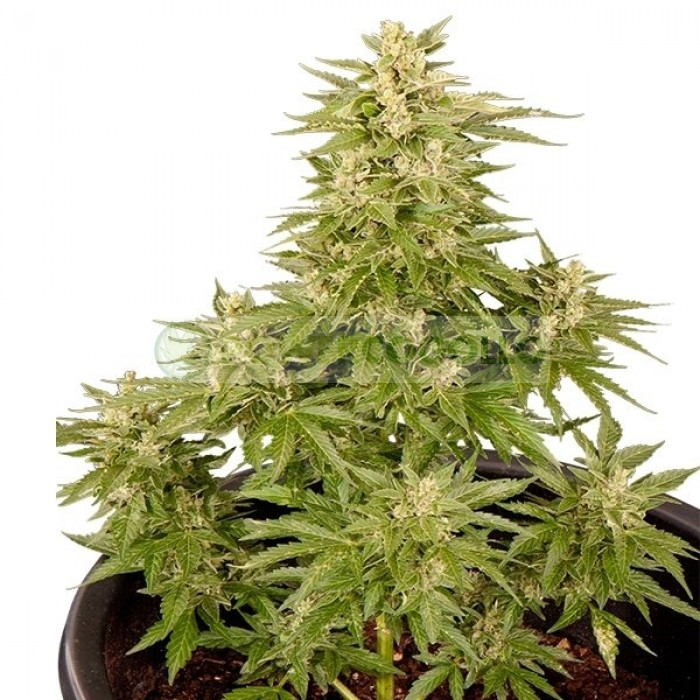 Semilla Royal Critical Automatic (Royal Queen Seeds) Cannabis Autofloreciente Feminizado