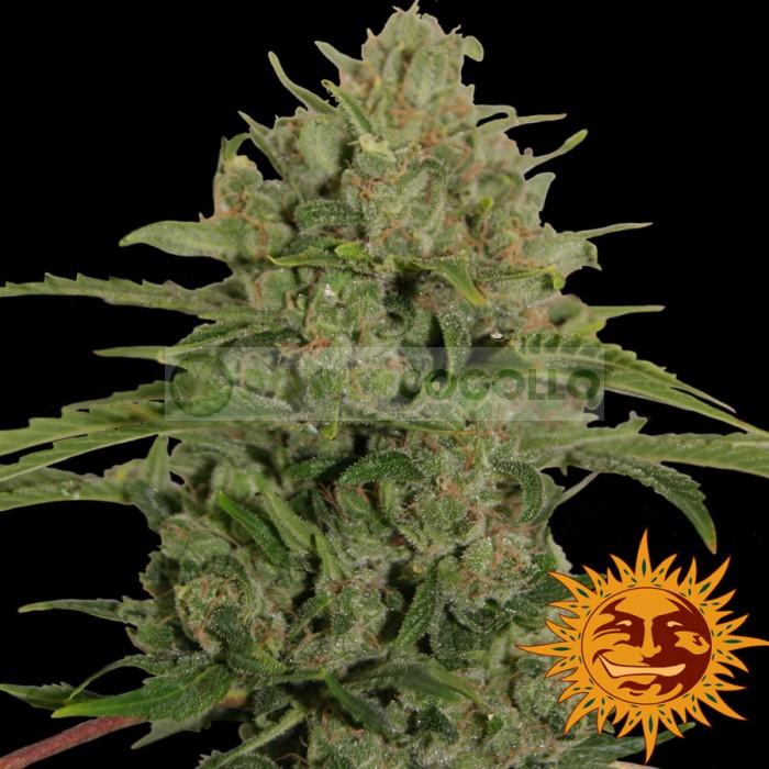 TRIPLE CHEESE (Barney´s Farm Seeds)