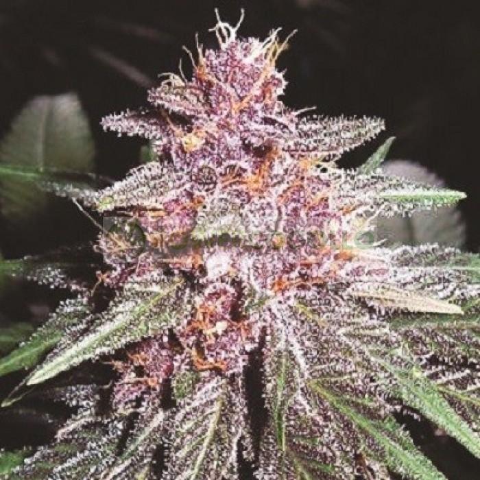 Violeta Regular (ACE Seeds)