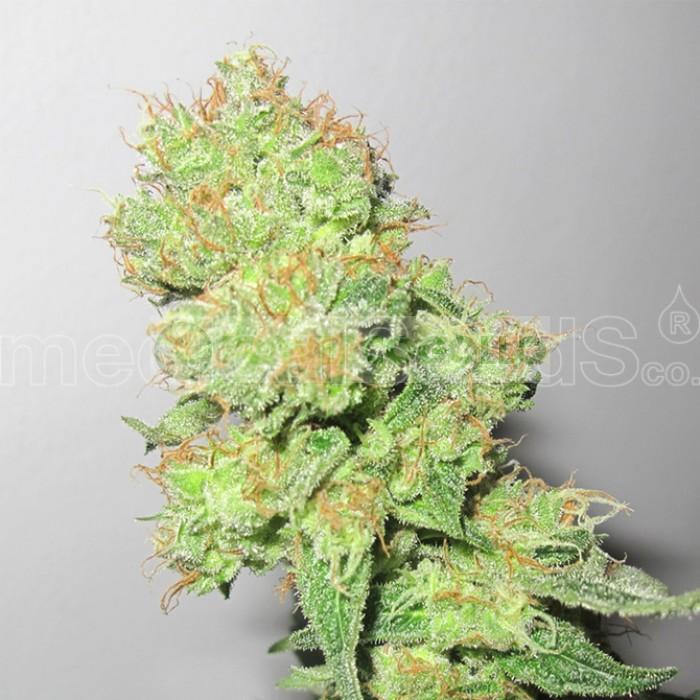 Y Griega CBD (Medical Seeds) Semilla Feminizada Cannabis