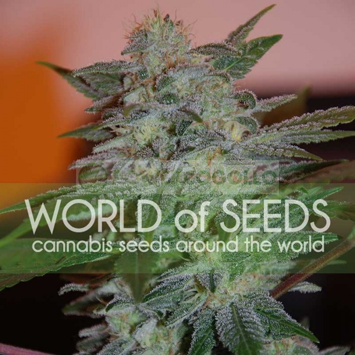 Yumbolt 47 (World of Seeds) Feminizada