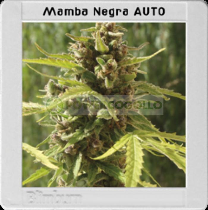 Mamba Negra Auto (Blim Burn Seeds)