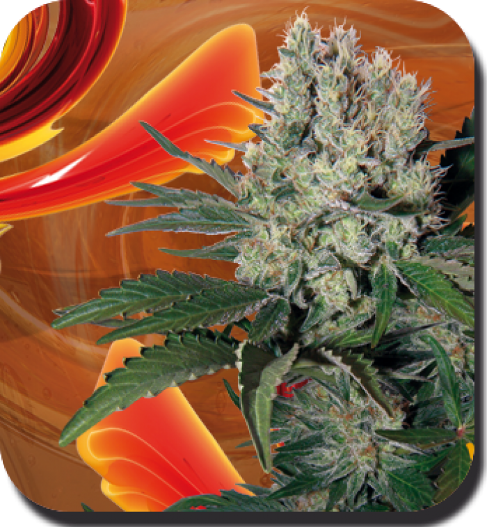 Syrup Auto Regular (Buddha Seeds)