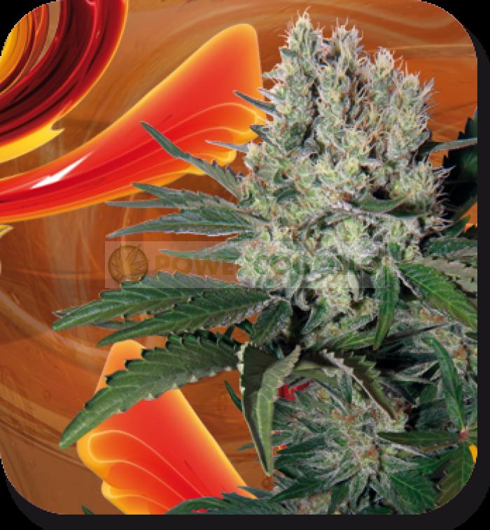 Semilla Syrup Automatic de Buddha Seeds Feminizada Autofloreciente Cannabis