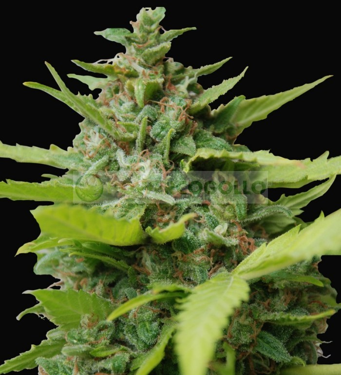 Kiss Dragon (Samsara Seeds
