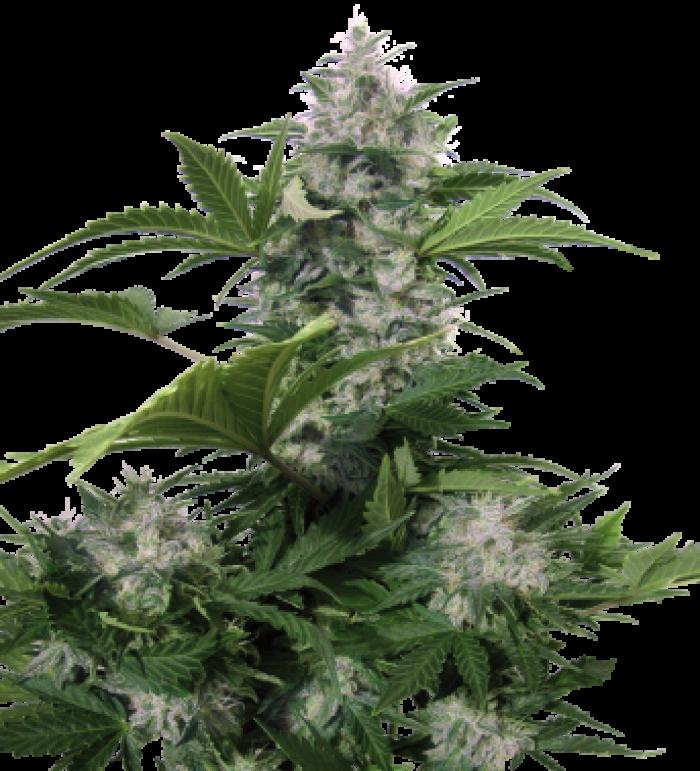 Semilla Autofloreciente White Dwarf Cannabis regular de Buddha Seeds