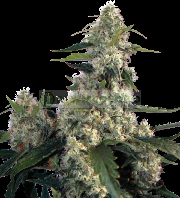 Quasar (Buddha Seeds) Semilla Feminizada de Cannabis