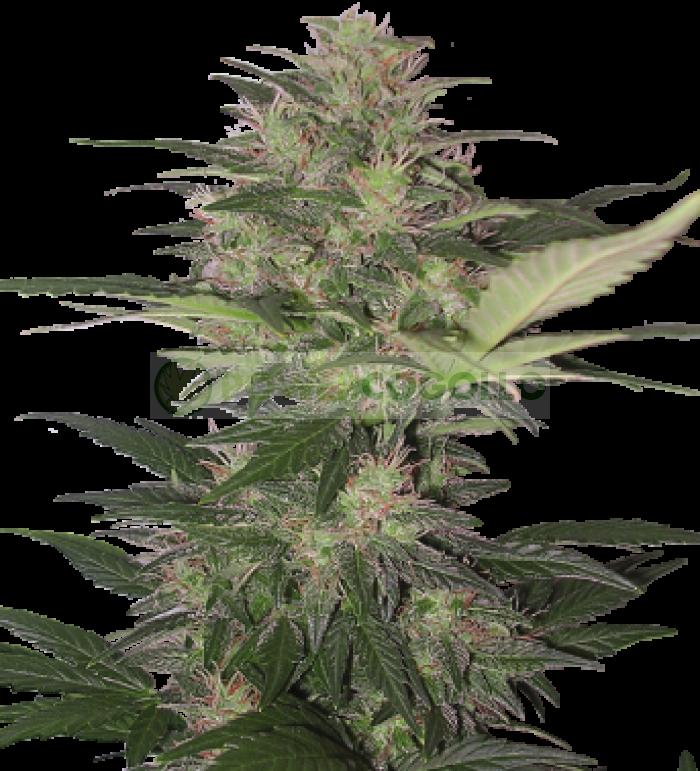 Red Dwarf (Buddha Seeds) Semilla Autofloreciente Feminizada