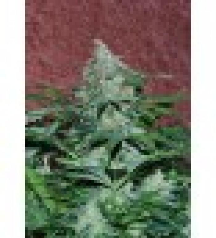 Amnesia Auto (World of Seeds) Semilla Autofloreciente Cannabis