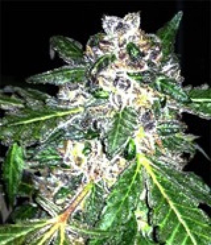 Lili (Mano Verde Seeds) Semilla Feminiza Cannabis-Marihuana