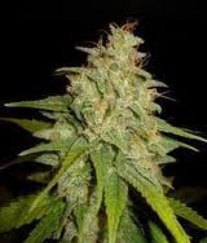 Mazar x White Rhino (World of Seeds) Semilla Cannabis Feminizados Medical Collection