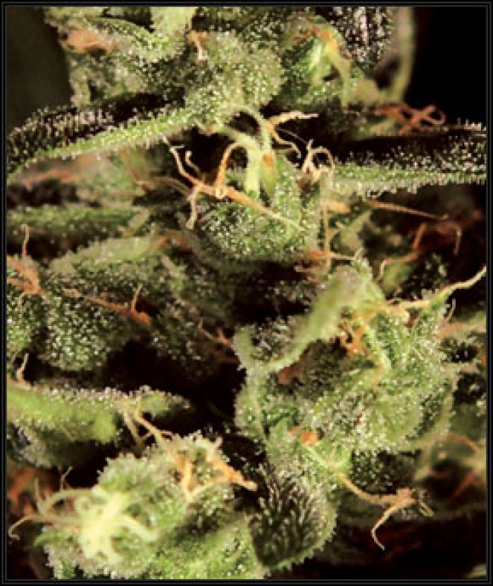 Exodus Cheese (Greeen House) Semilla Cannabis 100% Feminizada