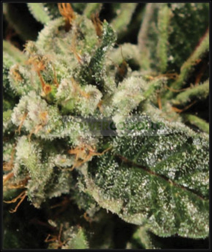 Bubba Kush (Green House Seeds)