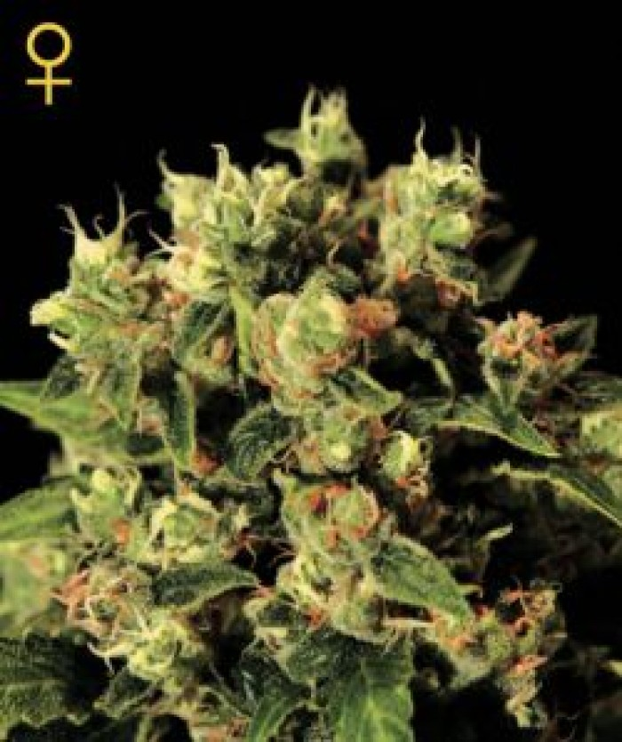 Ladyburn 1974 GH (Green House Seeds) Semilla feminizada Marihuana Barata