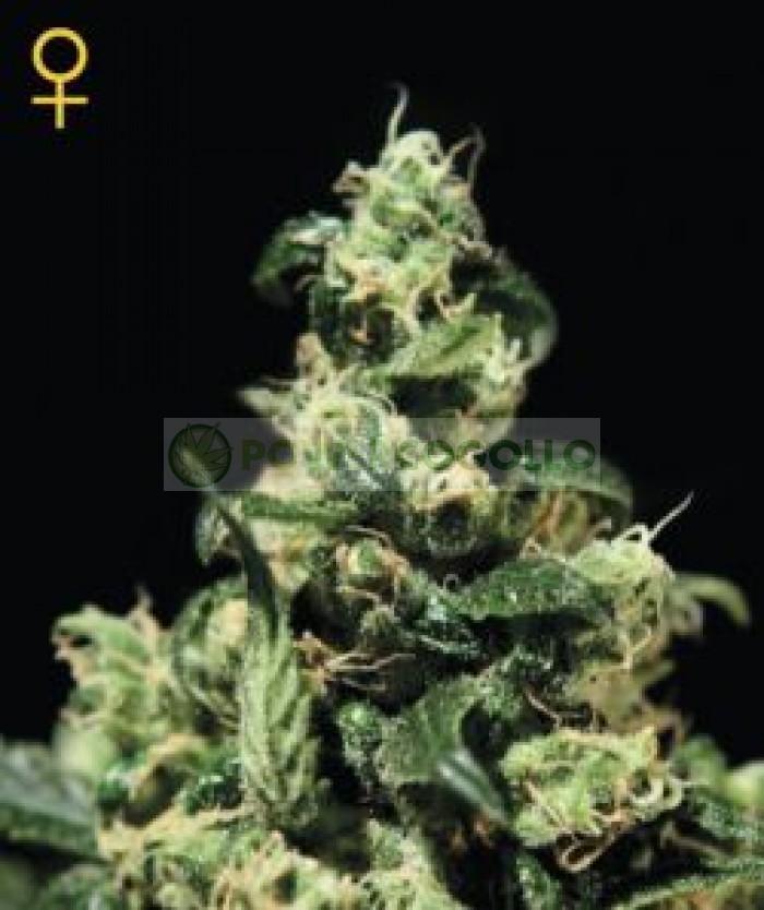 Sweet Mango Auto (Green House Seeds) Semilla Autofloreciente Marihuana