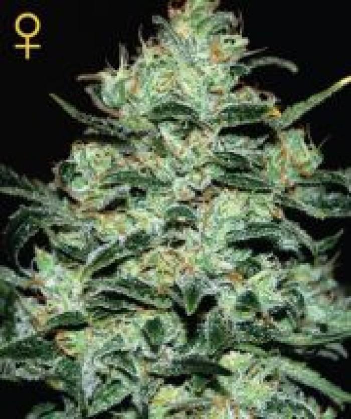 Moby Dick (Green House) Semilla Feminizada Cannabis-Marihuana Moby Dick (Green House)