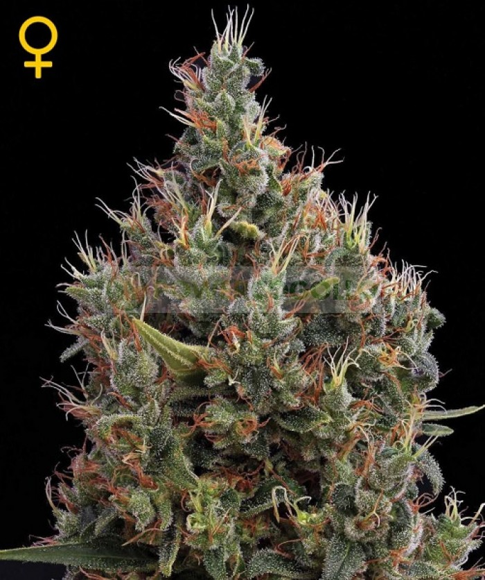 Big Bang Auto (Green House Seeds) Semilla