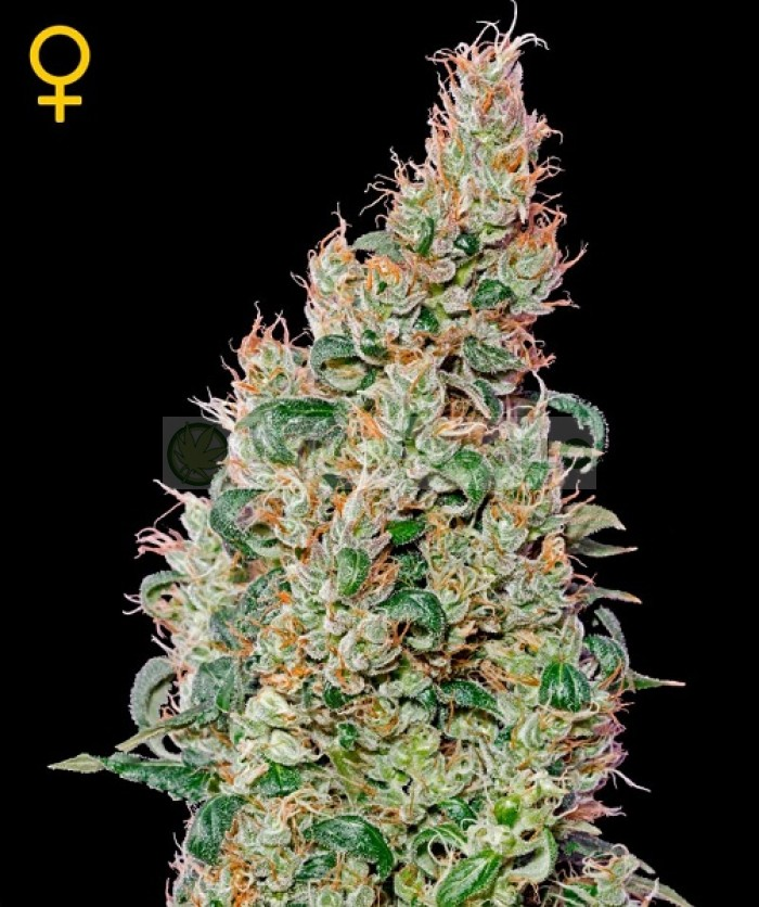 Green-o-matic Auto (Green House Seeds) Semilla Autofloreciente Feminizada Cannabis-Marihuana