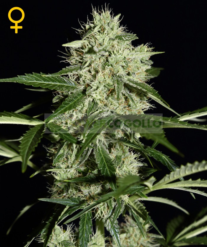 Semillas Northern Lights Auto (Green House Seeds)