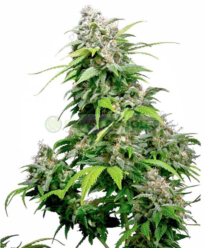 California Indica Feminizada (Sensi Seeds)-5 Semillas