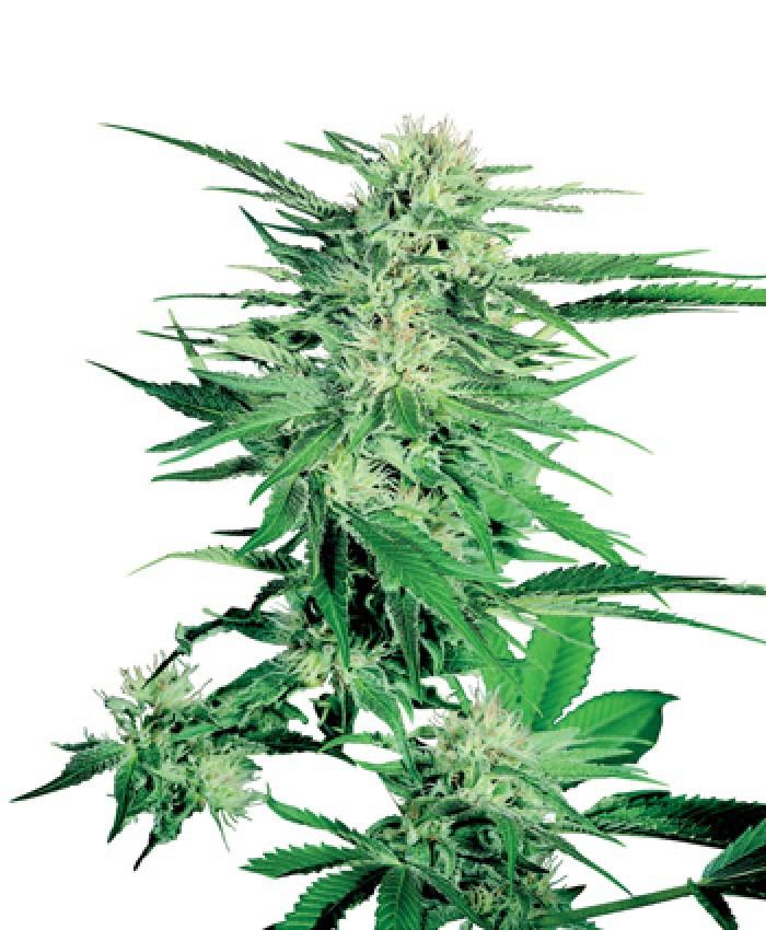 Big Bud Regular (Sensi Seeds)