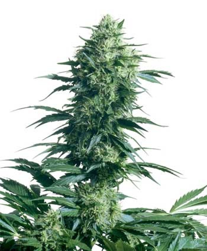 Mother's Finest (Sensi Seeds) Semilla de Marihuana Regular