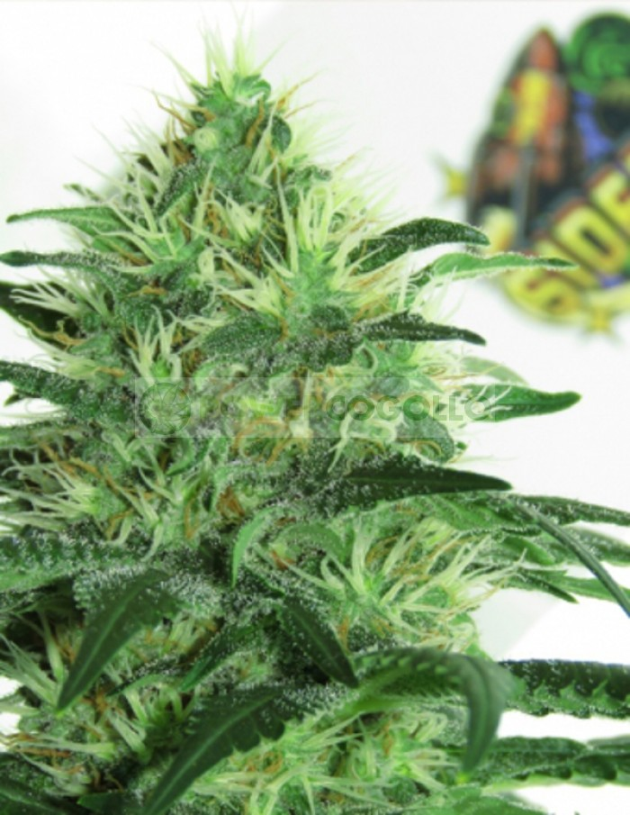 Sideral Feminizada (Ripper Seeds)