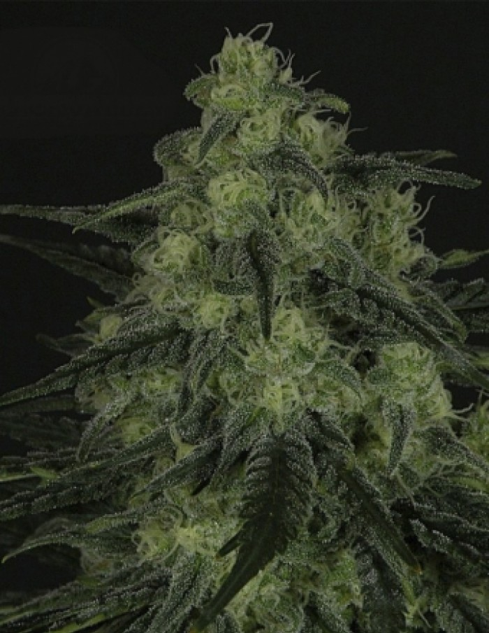 Black Valley (Ripper Seeds) Semilla Feminizada de Cannabis