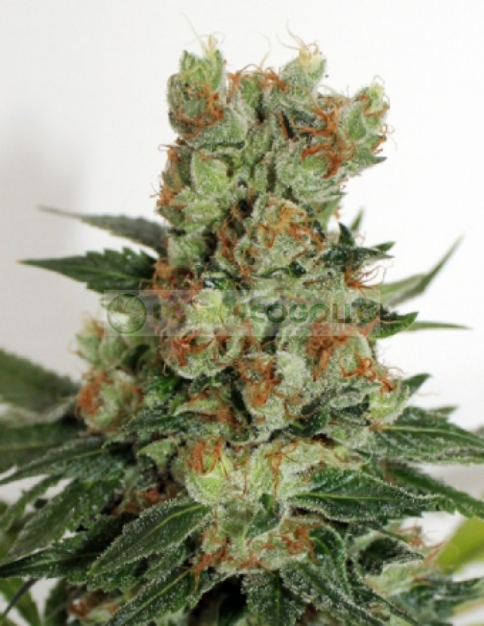Fuel Og (Ripper Seeds)