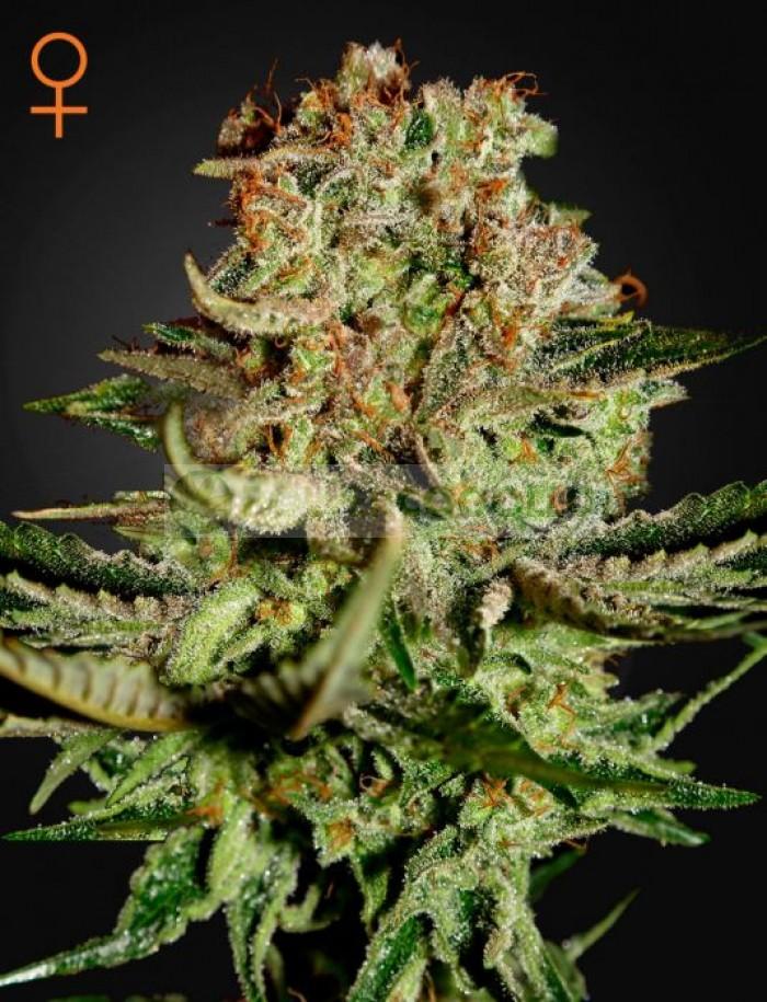 Super Bud (Greeen House Seeds) Semilla Cannabis Feminizada Barata