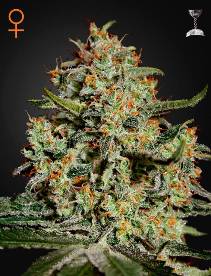 Big Bang (Green House Seeds)  Semilla Feminizada Big Bang 3° premio HTCC 2000.  Genética: Skunk, Northern Light, El Niño.  THC: 15,5%  CBD: 1.5%  CBN: 0.4%    Colocón: muy conocida por sus propiedades medicinales, se vende en las farmacias holandesas como