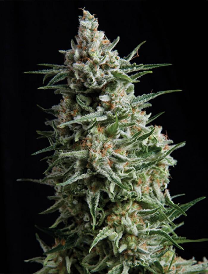 Auto Super Hash (Pyramid Seeds) Semilla