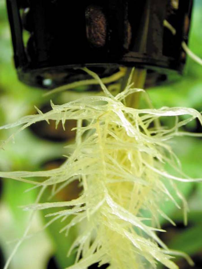 """""""Phytophora"""""""